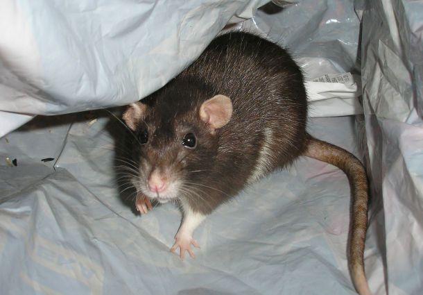 tipps gegen ratten im haus so hat die plage schnell ein ende. Black Bedroom Furniture Sets. Home Design Ideas