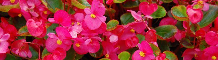 Blumen Für Den Balkon Im Schatten: Blühen Im Dunkeln - Bauemotion.de Blumen Fur Balkon Im Schatten Pflanzen