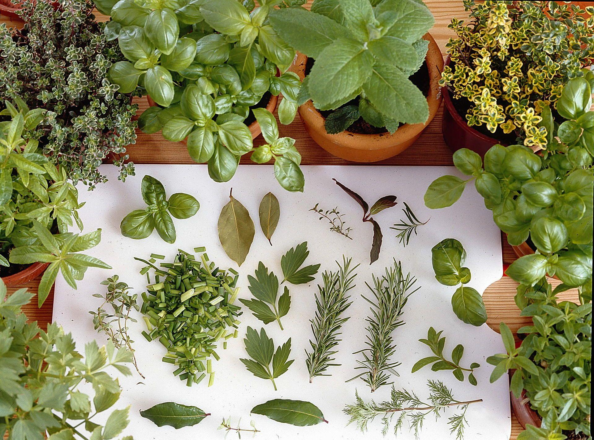 вуайерист порно фото пряных растений с названиями и цветами строению визуально